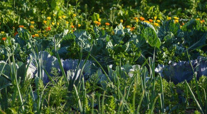 association plantes - ma permaculture